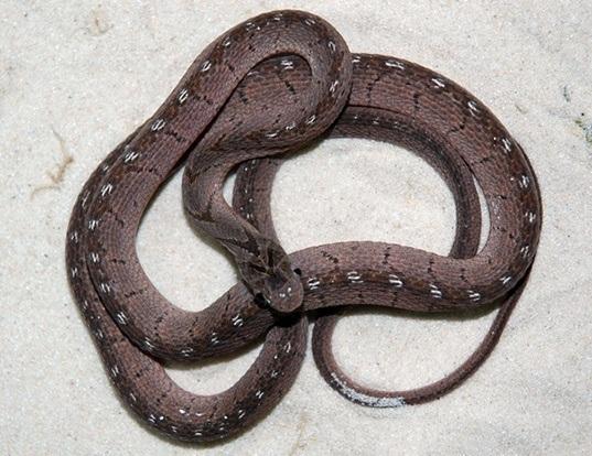 Picture of a east african egg-eating snake (Dasypeltis medici)