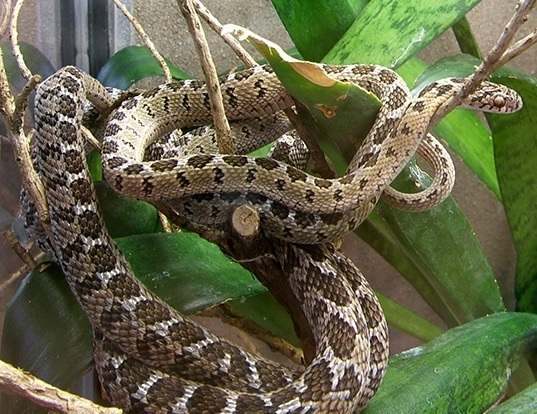 Picture of a egg eater (Dasypeltis scabra)
