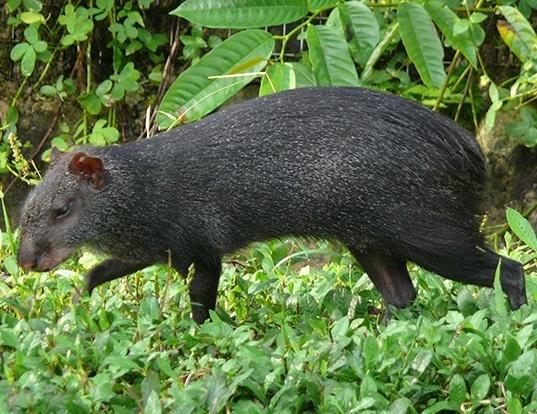 Picture of a black agouti (Dasyprocta fuliginosa)
