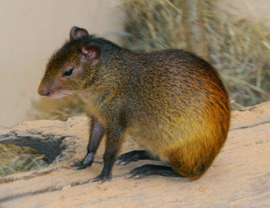 Picture of a black-rumped agouti (Dasyprocta prymnolopha)