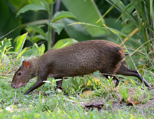 Picture of a central american agouti (Dasyprocta punctata)
