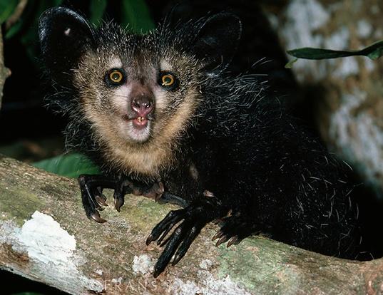 Picture of a aye-aye (Daubentonia madagascariensis)