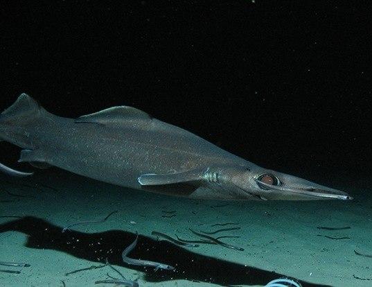 pelagic thresher life expectancy