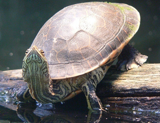 Picture of a chicken turtle (Deirochelys reticularia)