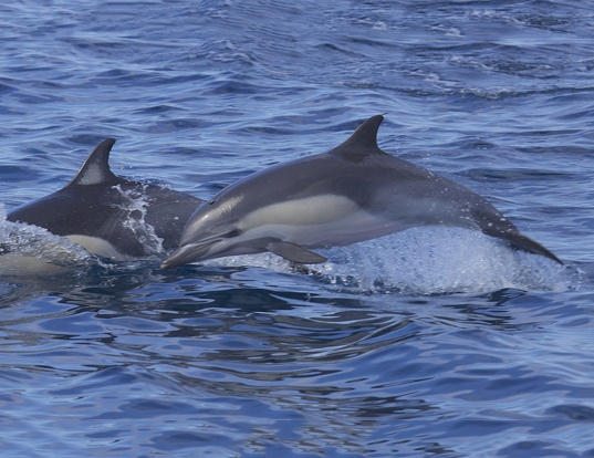 Picture of a short-beaked common dolphin (Delphinus delphis)