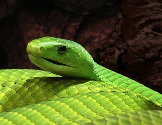Picture of a green mamba (Dendroaspis angusticeps)