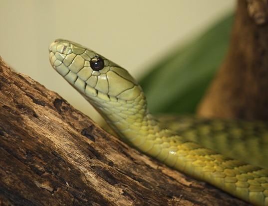 Picture of a jameson's mamba (Dendroaspis jamesoni)