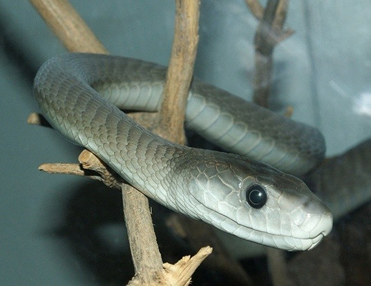 Picture of a black mamba (Dendroaspis polylepis)