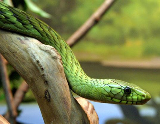 Picture of a western green mamba (Dendroaspis viridis)