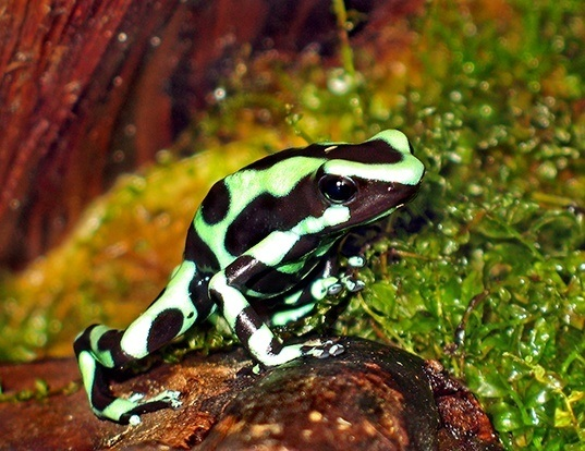 Picture of a green and black poison frog (Dendrobates auratus)