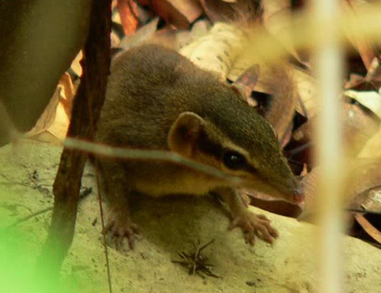 Picture of a northern smooth-tailed treeshrew (Dendrogale murina)