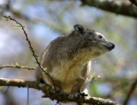 Picture of a southern tree hyrax (Dendrohyrax arboreus)
