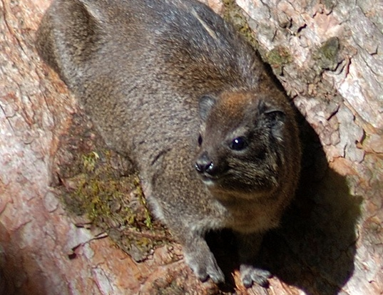 Picture of a eastern tree hyrax (Dendrohyrax validus)