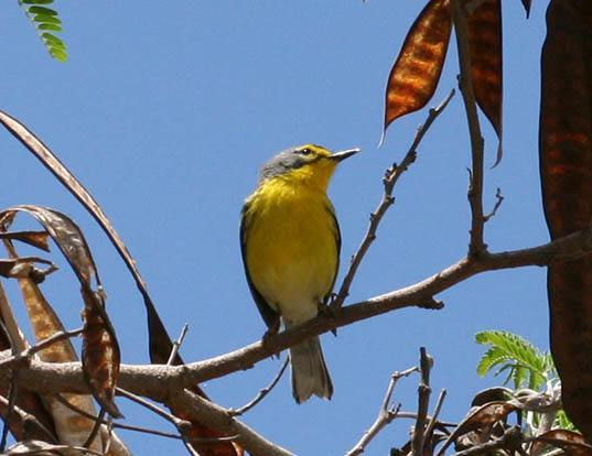 Picture of a adelaide's warbler (Dendroica adelaidae)