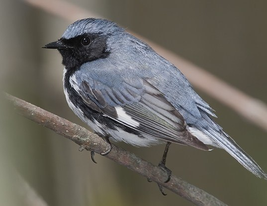 Picture of a black-throated blue warbler (Dendroica caerulescens)