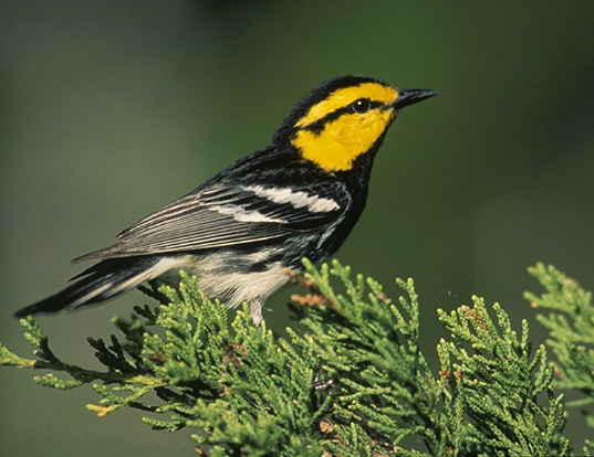 Picture of a golden-cheeked warbler (Dendroica chrysoparia)