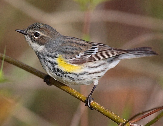 Picture of a yellow-rumped warbler (Dendroica coronata)