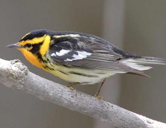 Picture of a blackburnian warbler (Dendroica fusca)
