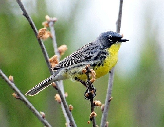 Picture of a kirtland's warbler (Dendroica kirtlandii)
