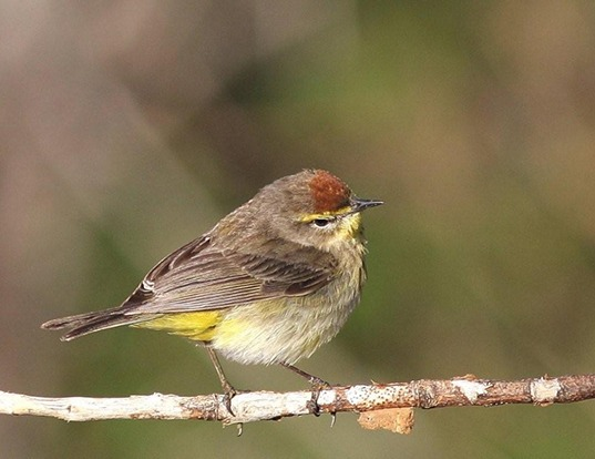Picture of a palm warbler (Dendroica palmarum)