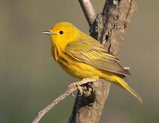 Picture of a yellow warbler (Dendroica petechia)