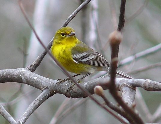Picture of a pine warbler (Dendroica pinus)