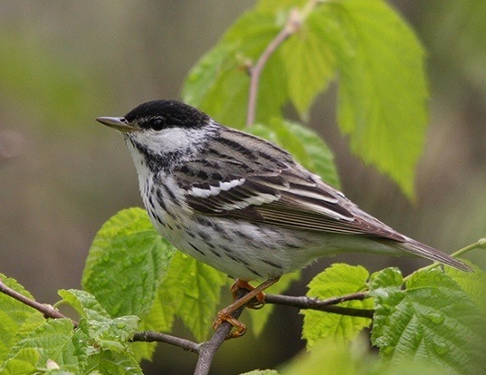 Picture of a blackpoll warbler (Dendroica striata)