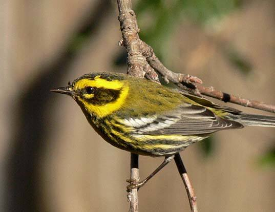 Picture of a townsend's warbler (Dendroica townsendi)