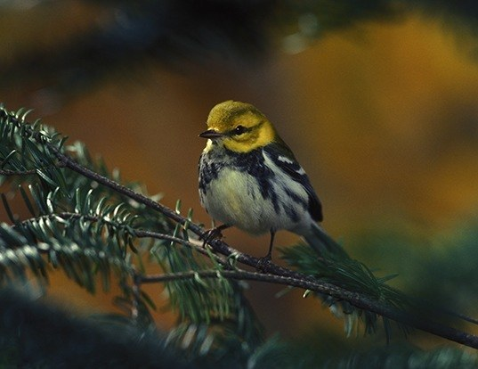 Picture of a black-throated green warbler (Dendroica virens)