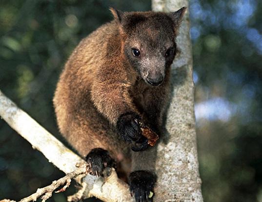 Musky Rat Kangaroo Life Expectancy