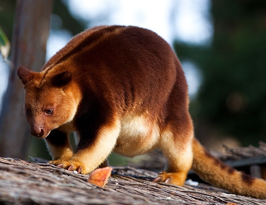 Picture of a goodfellow's tree kangaroo (Dendrolagus goodfellowi)