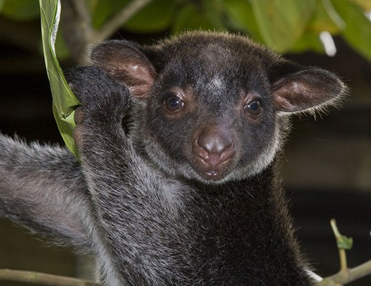 Picture of a grizzled tree kangaroo (Dendrolagus inustus)