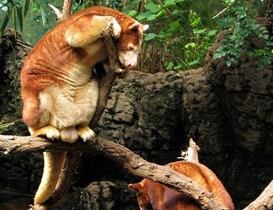 Picture of a huon tree kangaroo (Dendrolagus matschiei)