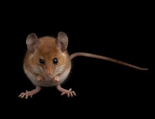 Picture of a gray african climbing mouse (Dendromus melanotis)