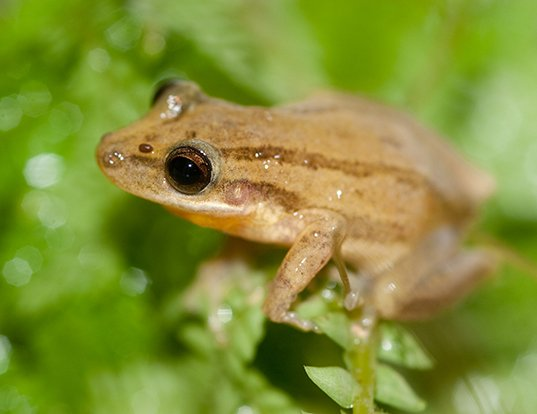 Picture of a small-headed treefrog (Dendropsophus microcephalus)