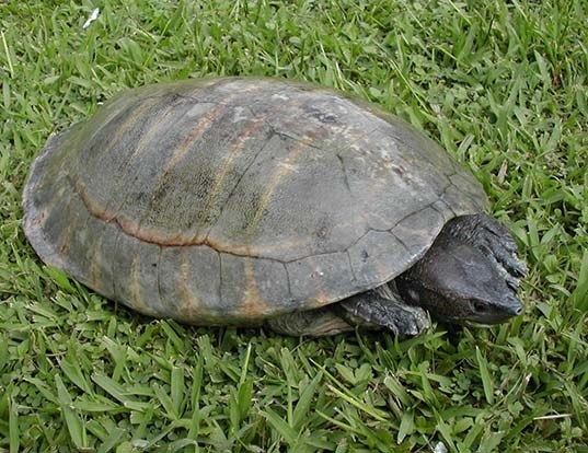 Picture of a central american river turtle (Dermatemys mawii)