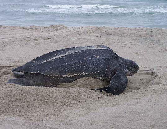 Picture of a leatherback turtle (Dermochelys coriacea)