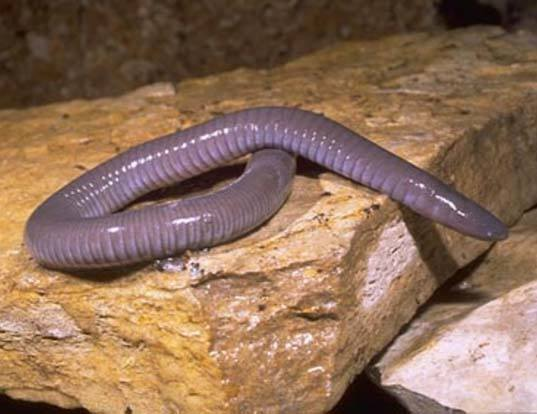Picture of a mexican caecilian (Dermophis mexicanus)