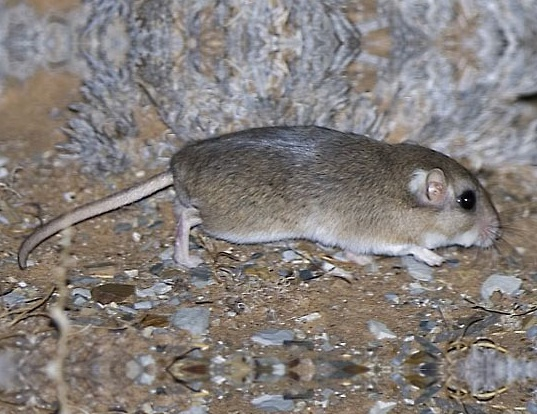 Picture of a cape short-eared gerbil (Desmodillus auricularis)