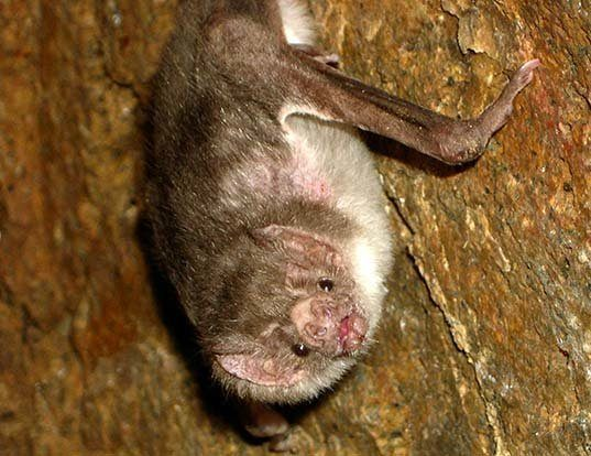 Picture of a vampire bat (Desmodus rotundus)