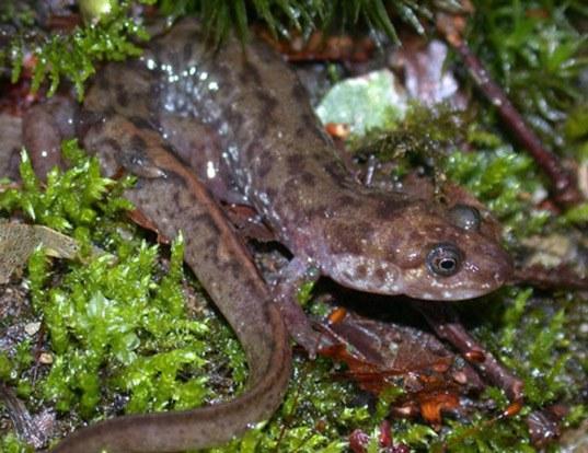 Picture of a seal salamander (Desmognathus monticola)