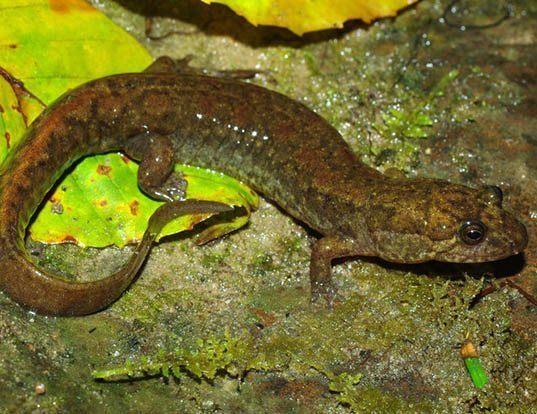 Picture of a black mountain salamander (Desmognathus welteri)