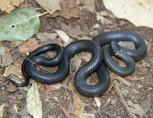 Picture of a ring-necked snake (Diadophis punctatus)