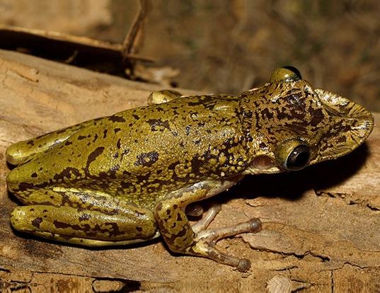 Picture of a treefrog (Diaglena spatulata)