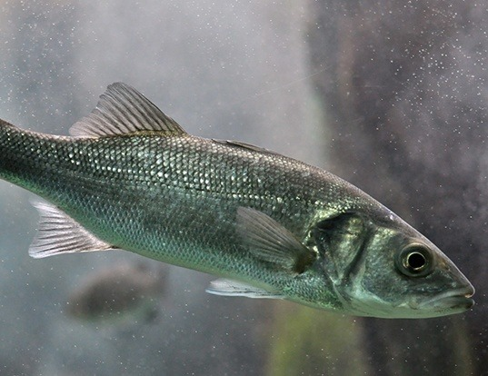 Picture of a european seabass (Dicentrarchus labrax)