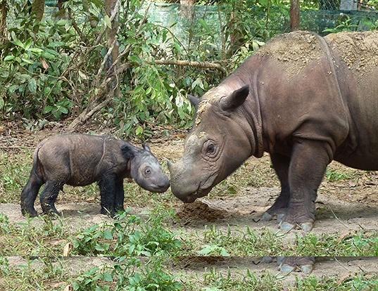 Picture of a sumatran rhinoceros (Dicerorhinus sumatrensis)