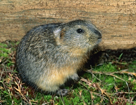 Picture of a northern collared lemming (Dicrostonyx groenlandicus)