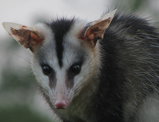 Picture of a white-eared opossum (Didelphis albiventris)