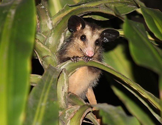Picture of a brazilian common opossum (Didelphis aurita)