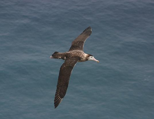 Picture of a amsterdam albatross (Diomedea amsterdamensis)